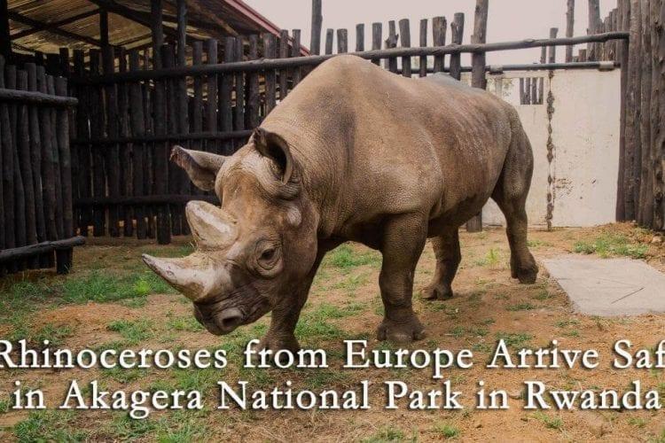5 More Rhinos for Akagera National Park in Rwanda