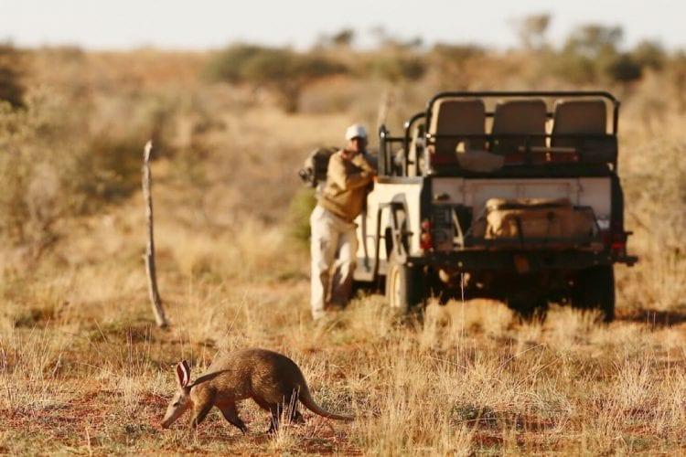 Aardvark on Safari at Tswalu Kalahari