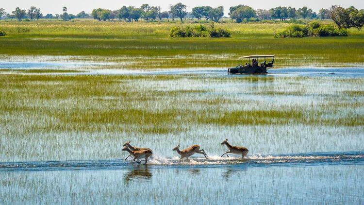 Antelope in the Okavango Delta Botswana