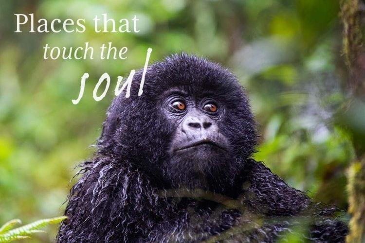 Baby Gorilla Remarkable Rwanda