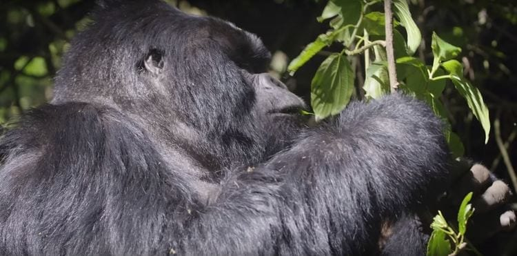 Celebrating Gorillas and the Communities of Rwanda