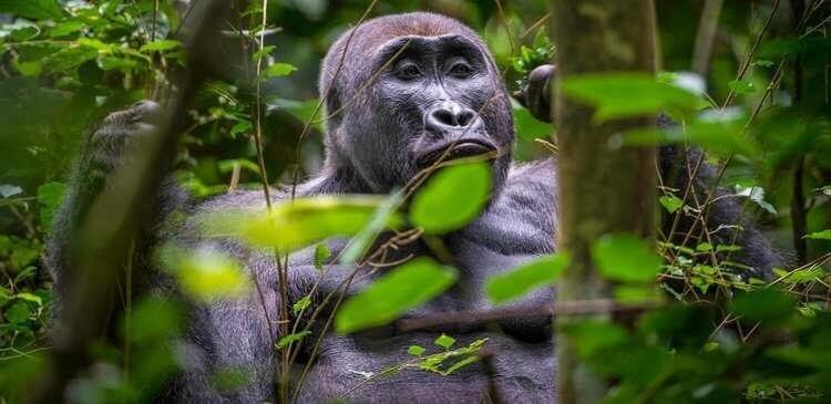Dreaming of a Rwanda or Uganda Primate Safari