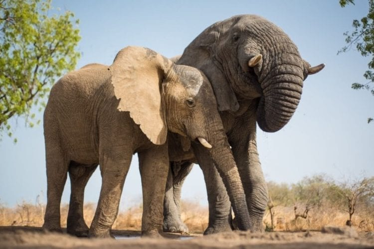 Elephants on the rise in Chad