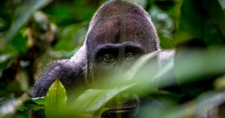 Gorilla Trekking in Rwanda Stirs Up Emotions
