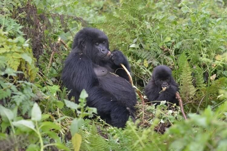 Latest census results show Mountain Gorilla population still increasing