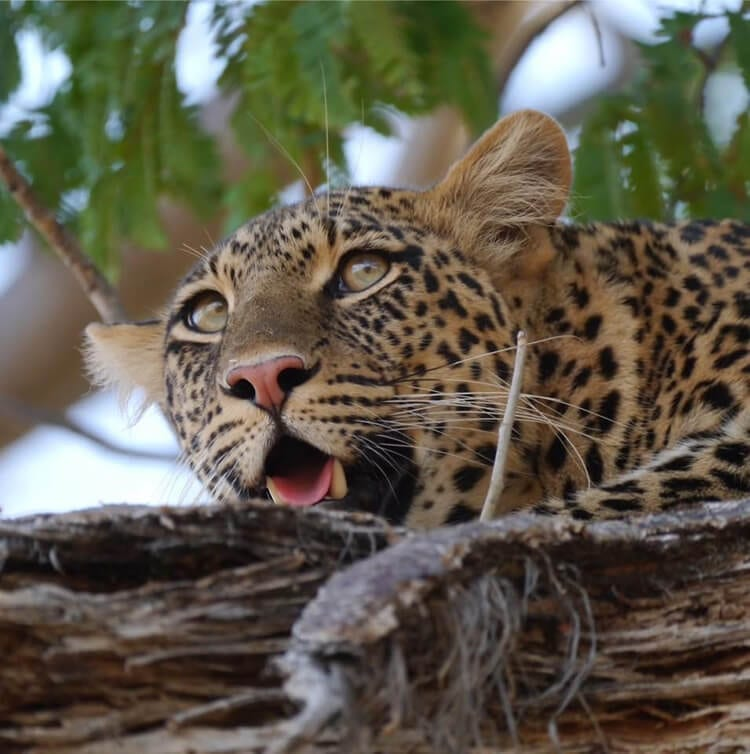 Leopard-in-Ruaha-Tanzania-Large