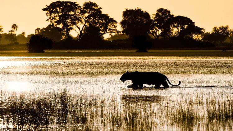 Leopard wading through Okavango Delta Botswana