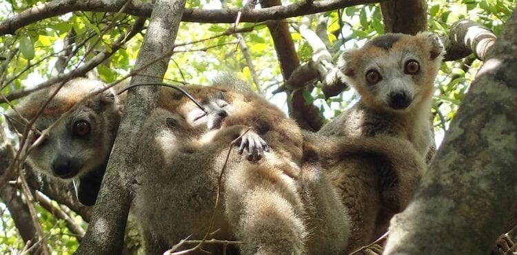 Miavana Madagascar Celebrates 3 New Lemur Pups
