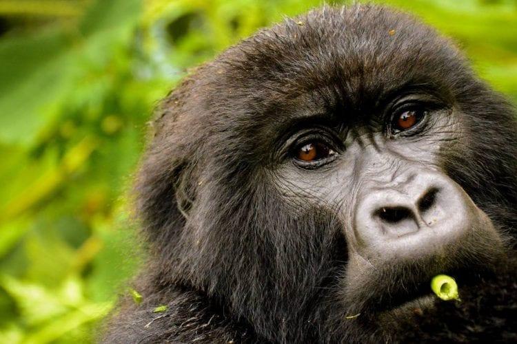 One & Only Gorilla's Nest Rwanda