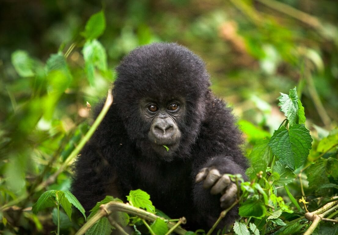 Rwanda Gorilla Naming Ceremony with Tailormade Africa