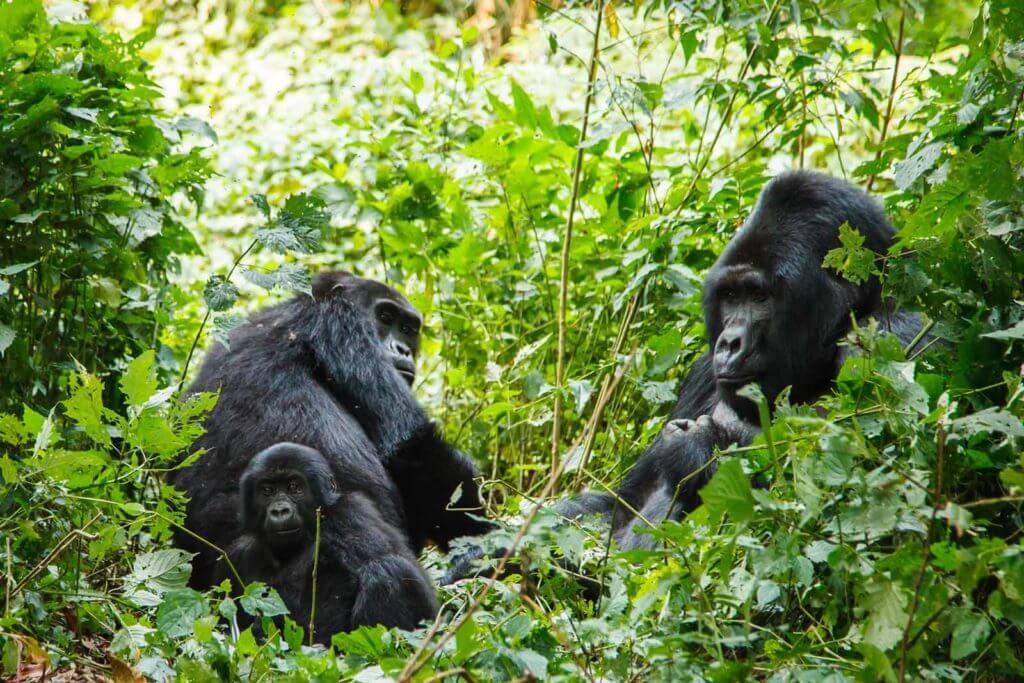 Dian Fossey was instrumental in the survival of Mountain Gorillas in Rwanda