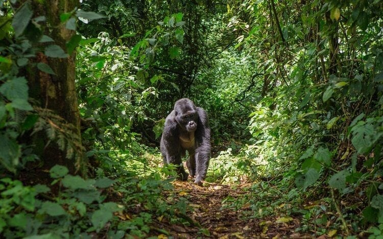 Singita Kwitonda Lodge Helping the Future of Rwanda's Gorillas