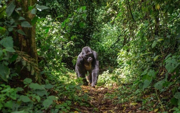 Singita Kwitonda Lodge Helping the Future of Rwanda's Gorillas