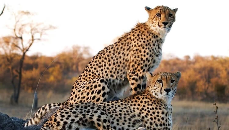 South African Safari – A Place of Cheetah & Lion