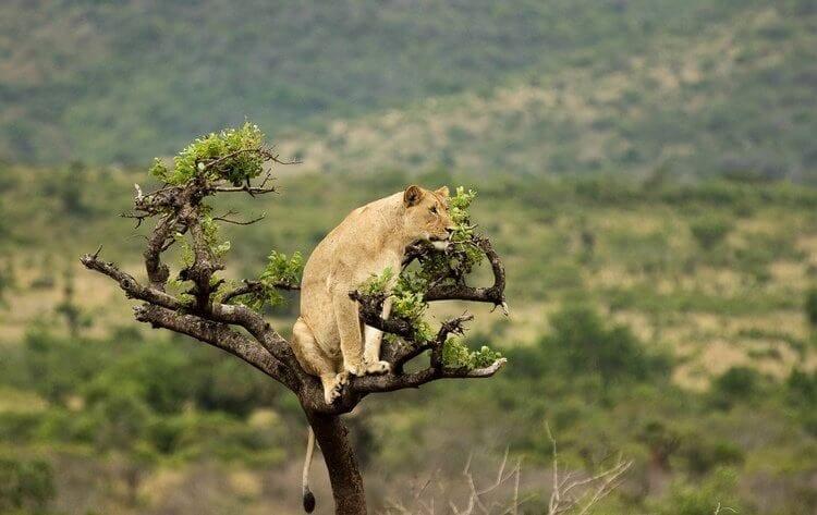 The Lions of Akagera National Park Rwanda