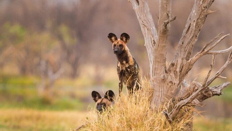 Wild Dogs in Linyanti Botswana