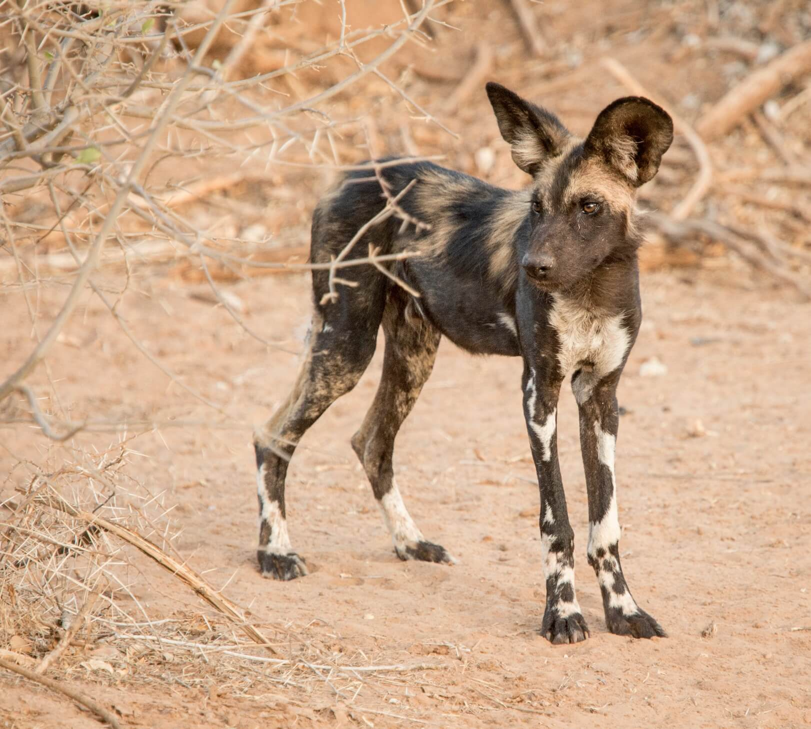 Wilddogs at Sasaab Lodge