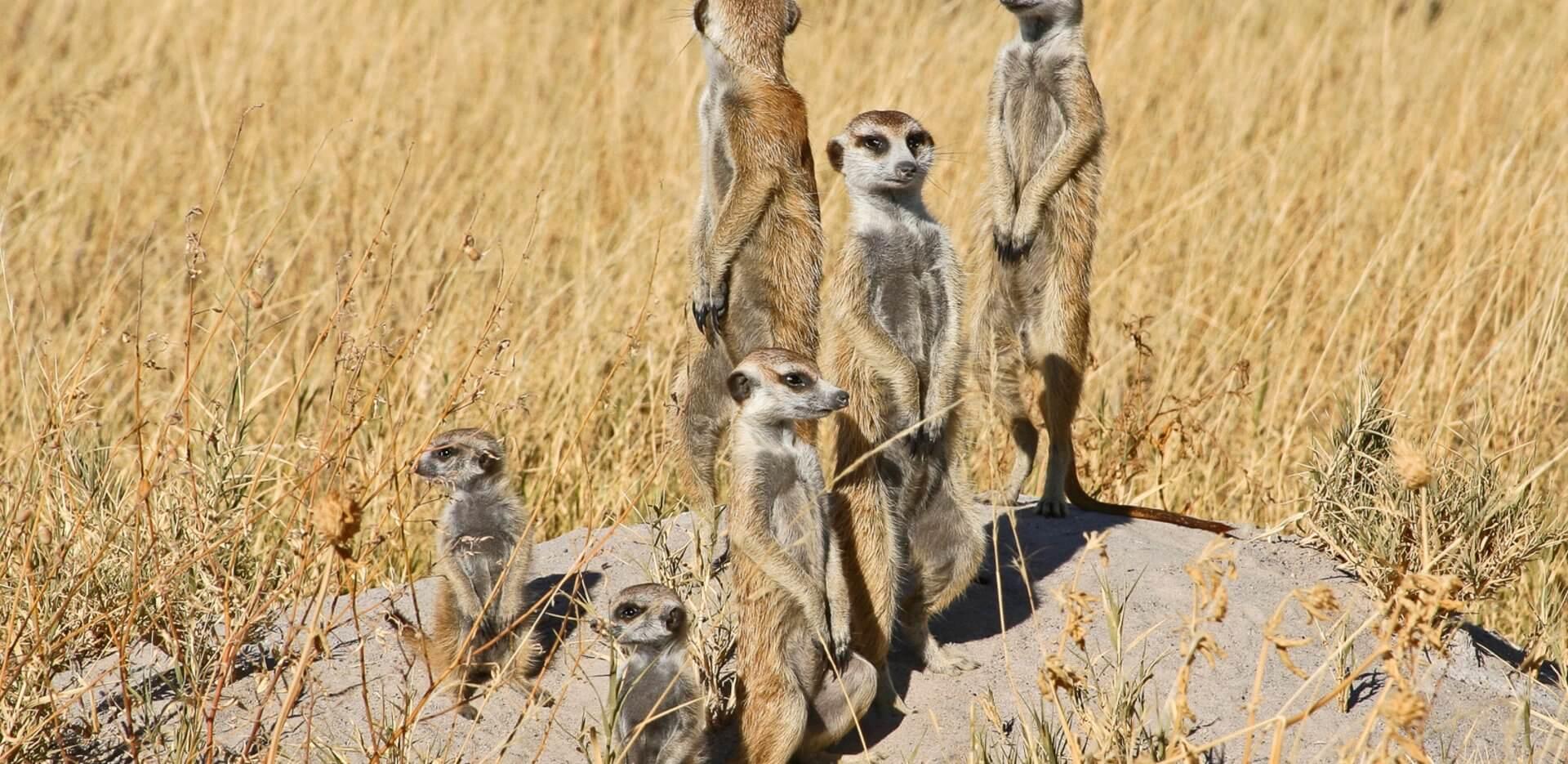 meerkat in makgadikgadi