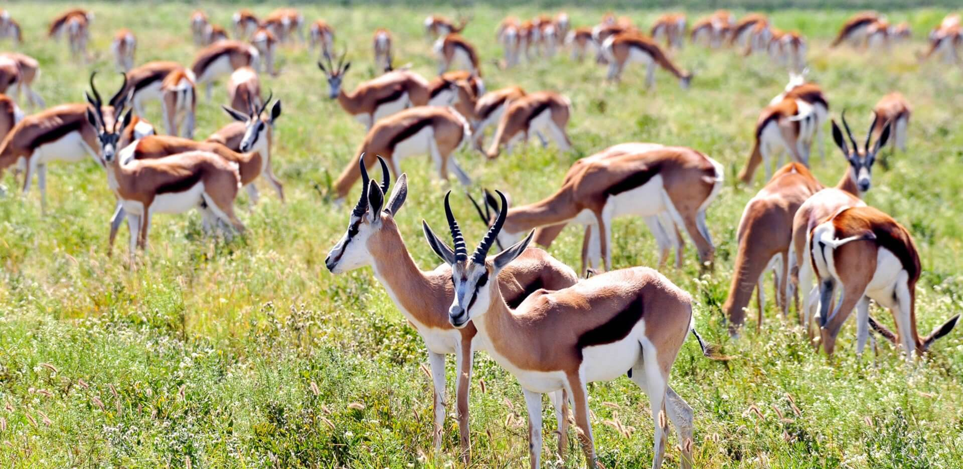 springbok in the central kalahari