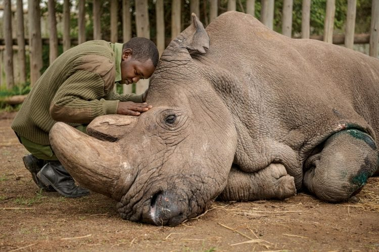 sudan one of the last male northern white rhinos