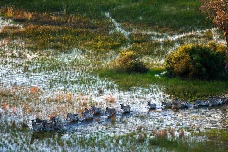 zebras in linyanti reserve